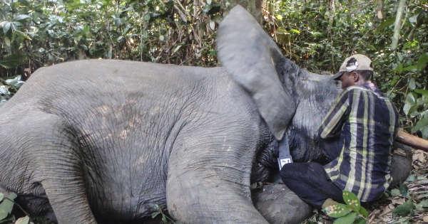 Au Gabon, des colliers GPS pour protéger les éléphants