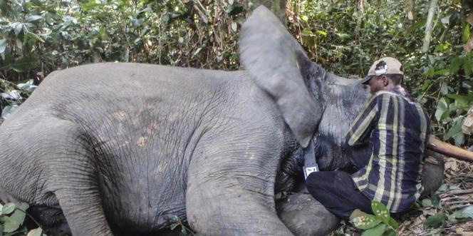 Pose d'un collier GPS sur un éléphant dans le parc national de Mwagna, dans le nord-est du Gabon, le 13 décembre 2017.