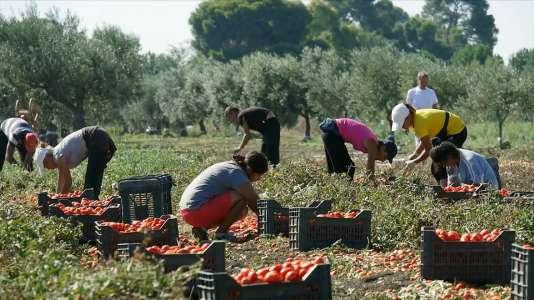 Une récolte de tomates en Italie.