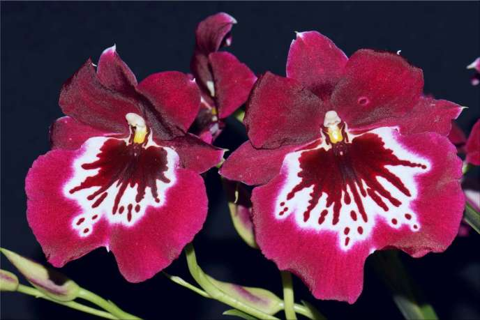 Orchidée de l'espèce «Miltoniopsis Catalina de Alvarado».