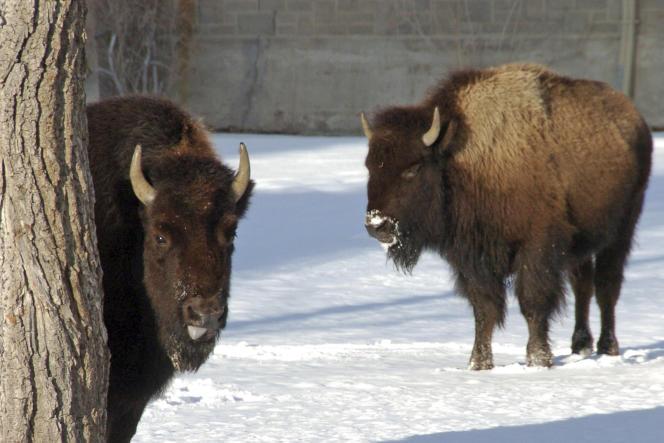 Bisons à Mammoth Hot Springs (Wyoming) dans le parc national de Yellowstone, le 20 janvier.