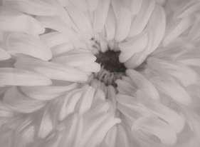 «Ce chrysanthème soyeux est un tirage de grand format. Les formats de 30×40cm correspondent souvent à des tirages d'exposition chez Hausmann, lesquels nous sont presque miraculeusement parvenus. L'exposition ne présente que des tirages d'époque, réalisés par Hausmann lui-même, où s'exprime toute sa maîtrise technique.»