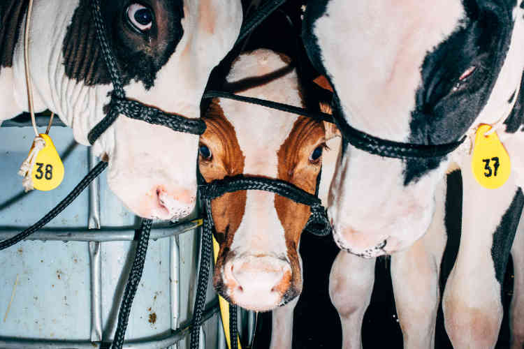 De jeunes vaches vendues aux enchères, à Bitburg, en Allemagne, en octobre 2015.