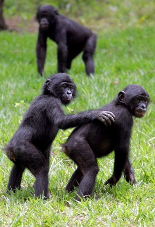 Singes Bonobos, dans le sanctuaire deMont-Ngafula, au sud de Kinshasa (République Démocratique du Congo), en 2006.