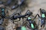 Des fourmis parviennent à soigner leurs congénères blessés au combat