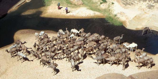 Chameaux dans le parc Ennedi, au Tchad, en octobre 2015.