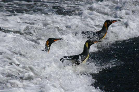 Manchots royaux dans l'archipel de Crozet, au sud de l'océan Indien.