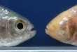 Astyanax mexicanus.A gauche, le poisson de surface. A droite, le poisson cavernicole, dépigmenté et sans yeux.
