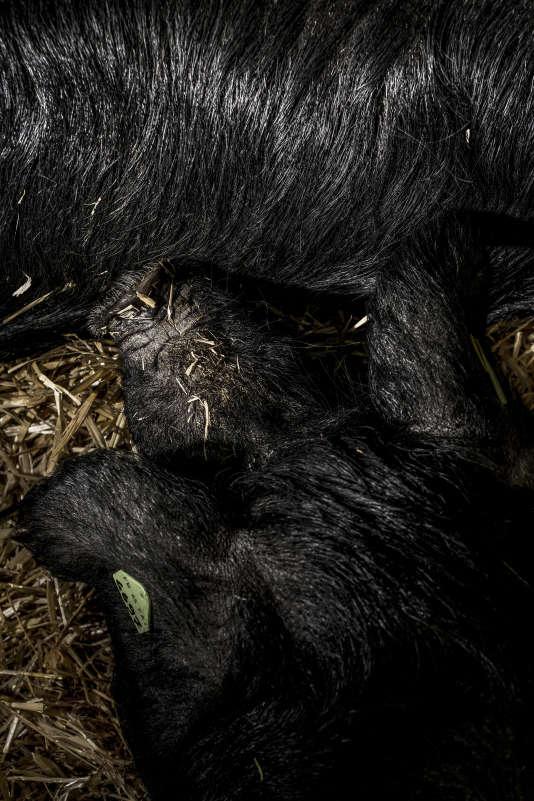 Melba et Melis, 15 mois, cochons noirs de Bigorre, élevés par Eric Barbazan (Haute- Garonne).