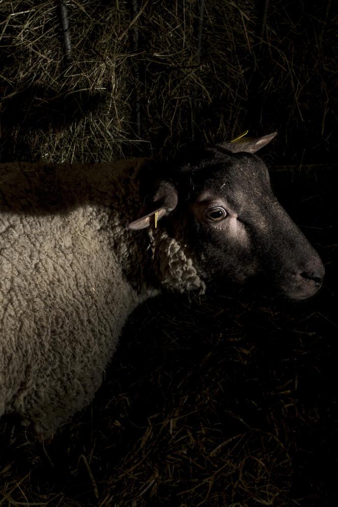 17001, 1 an, mouton de race roussin, élevé par Loris Vallée, dans la Manche.