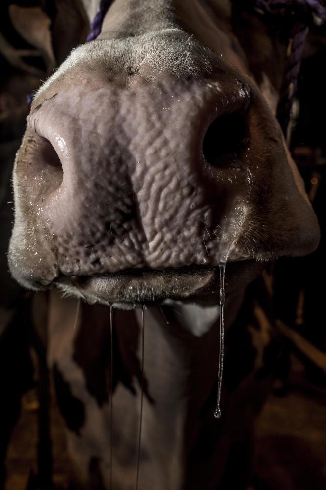 Xaintrie Fière, 8 ans, vache red holstein élevée chez Jean-Louis Lafon (Cantal).