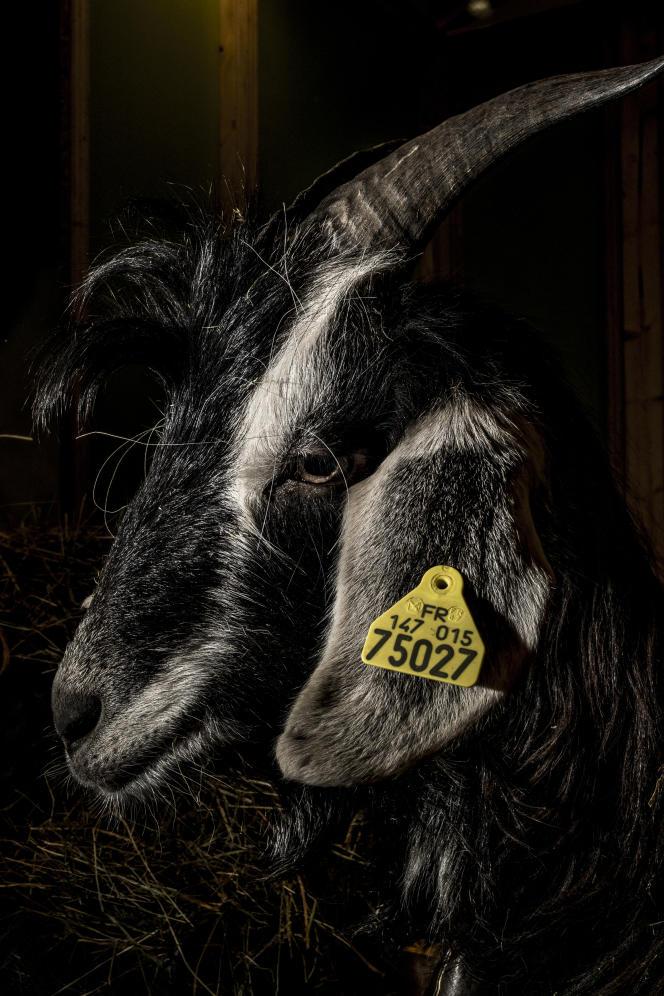 Nyagara (noire), 1 an, chèvre des Pyrénées, élevée par Christophe Kuster, dans le Jura.
