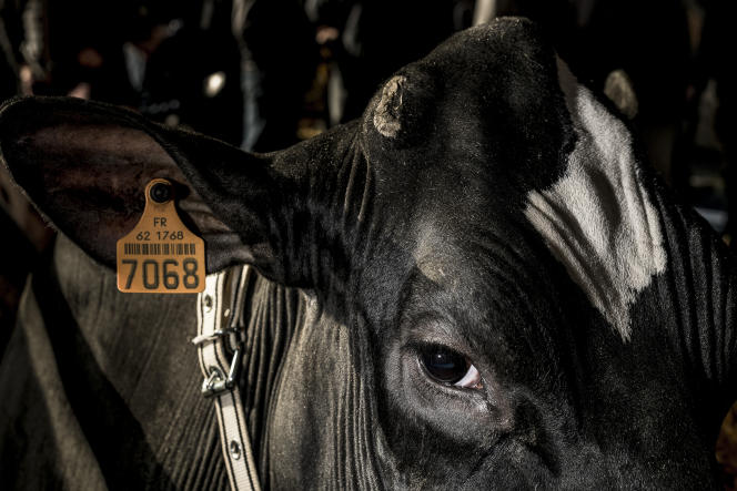 Boul'ait BDB Impres, dite «Impres», 4 ans, vache holstein élevée chez Romain Boulet (Pas-de-Calais).