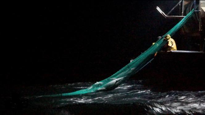 Deux dauphins pris au piège dans un filet, dans le golfe de Gascogne, en février (extrait d'une vidéo de l'ONG Sea Shepherd).