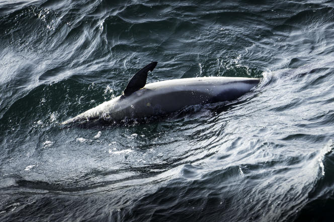 Des milliers de dauphins victimes des chalutiers.