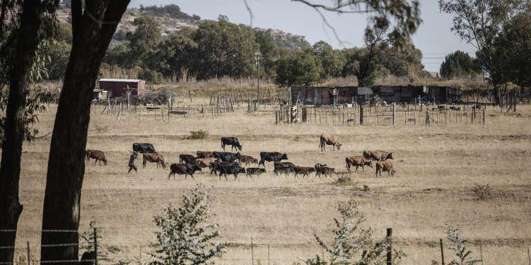 Un élevage bovin à Ladybrand, en Afrique du Sud, en juin 2017.
