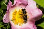 L'Agence européenne pour la sécurité des aliments a confirmé, mercredi 28 février 2018, le risque pour les abeilles posé par trois néonicotinoïdes actuellement soumis à des restrictions d'usage dans l'Union européenne.