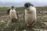 «Introduire l'ignorance de l'interdépendance des paramètres environnementaux en n'en constitutionnalisant qu'un seul, ne constituerait pas une avancée, mais un lourd recul environnemental»(Jeunes manchots, Ardley Island, en Antarctique, le 3 février).