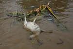 Une chèvre morte, dans le fleuve Citarum, en Indonésie, le 22 février 2018.