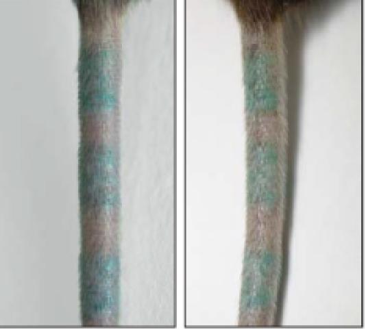 Comme le pigment du tatouage peut être recapté par les nouveaux macrophages, le tatouage apparaît identique avant (à gauche) et après (à droite) que les macrophages du derme ont été détruits.