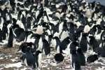 Une immense colonie de manchots découverte par satellite grâce à leurs excréments.