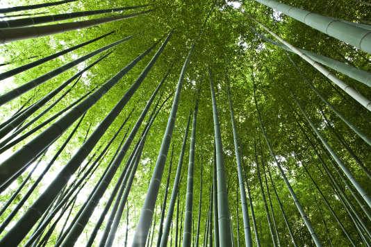 Certains bambous géants peuvent atteindre 20 mètres de haut.