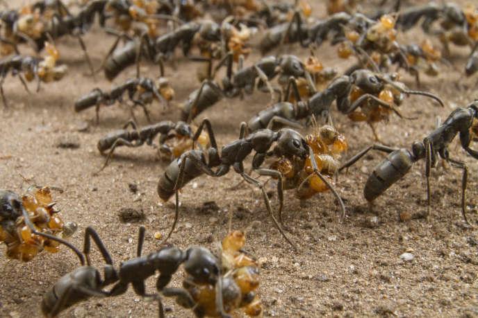 Des fourmis «Megaponera analis» reviennent d'un raid sur un nid de termites. Elles peuvent ramener jusqu'à six proies chacune.