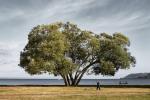 Broccoli Tree : le bel arbre que la célébrité a fini par détruire