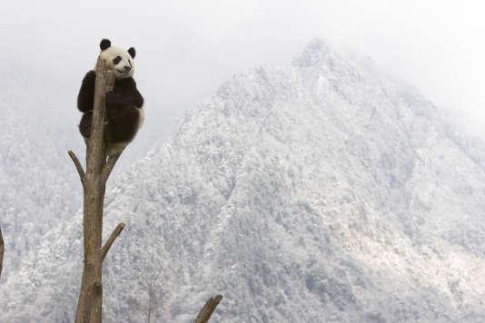 Le bambou dont dépendent les pandas pour leur alimentation est peu susceptible de suivre le rythme des changements climatiques.