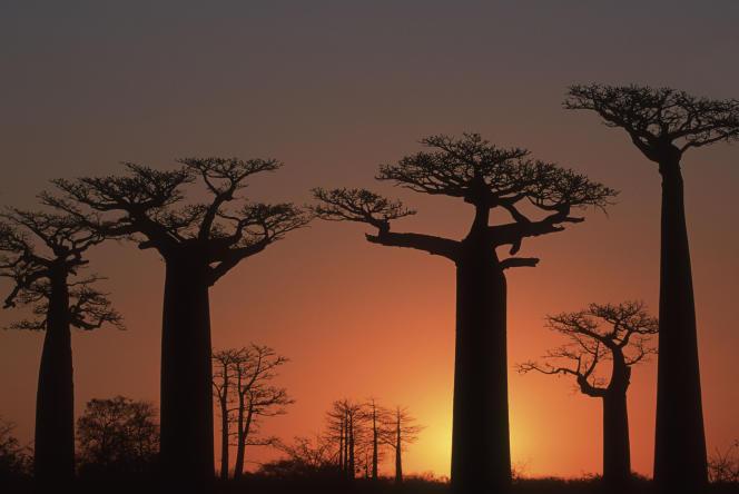 Selon les projections, Madagascar devrait devenir impropre au climat pour plus de la moitié des espèces qui s' y trouvent, dans le cadre d'un scénario d'émissions inchangées et de possibilités limitées de dispersion.