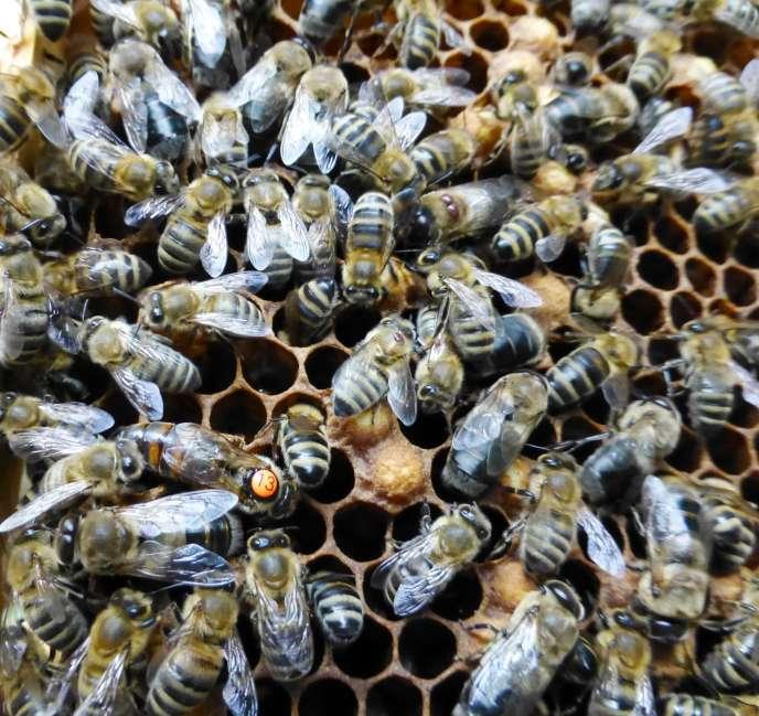 Dans la ruche, une reine (point orange) entourée d'ouvrières et d'un faux-bourdon (en dessous d'elle, avec de gros yeux).