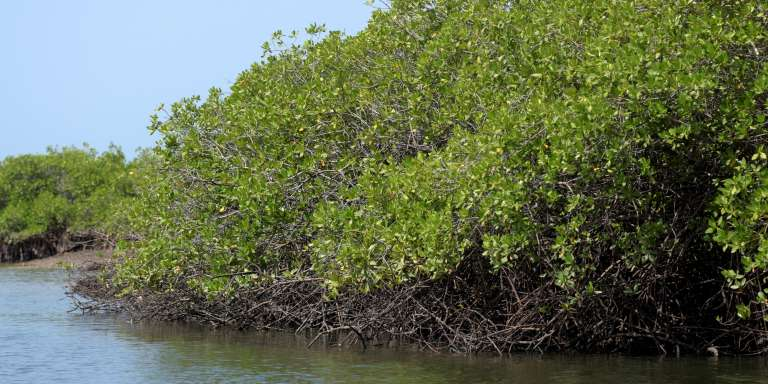 Région de mangrove dans le sud-ouest du Sénégal.