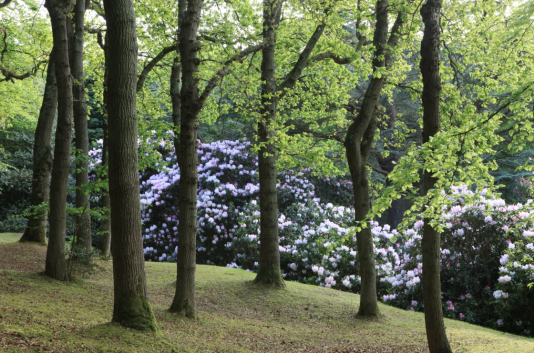 Au Bois des Moutiers, les rhododendrons géants de l'Himalaya en fleurs.