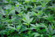 « La clandestinité d'un commerce très hautement rentable dope les profits des criminels qui continuent à l'assurer, ces profits les incitant à les défendre par tous les moyens, y compris les plus violents » (Plants de cannabis).