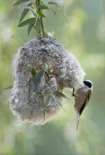 Une rémiz penduline («Remiz pendulinus») construisant son nid. Grosses ou petites, migratrices ou pas, toutes les espèces sont concernées, probablement du fait de l'effondrement des populations d'insectes, car même les volatiles granivores ont besoin d'insectes à un moment dans l'année, pour leurs poussins.