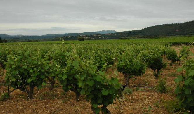 Vignoble AOC Languedoc, terrasses-du-Larzac.