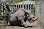Le rhinocéros Sudan, en mai 2017, dans la réserve d'Ol Pejeta, au Kenya.