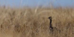 Une outarde canepetière, l'un des oiseaux des champs les plus menacés de disparition en France.
