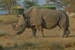 Sudan, le rhinocéros mâle blanc du Nord, dans la réserve d'Ol Pejeta au Kenya, le 18 juin 2017.