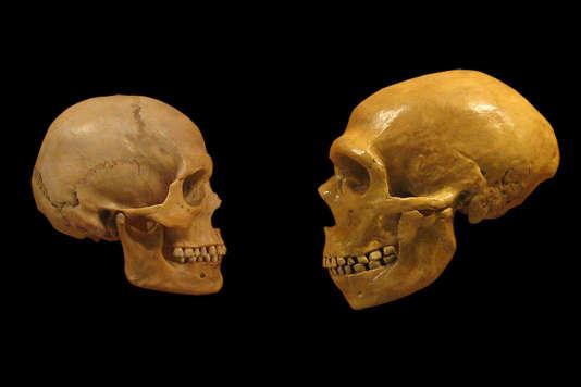 Comparaison d'un crâne «Homo sapiens» (à gauche) et néandertalien, Musée d'histoire naturelle de Cleveland.
