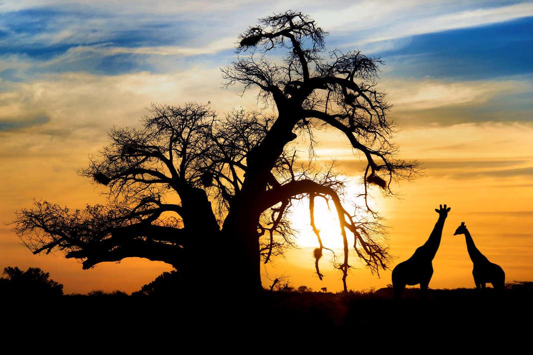 La savanne africaine au Botswana.