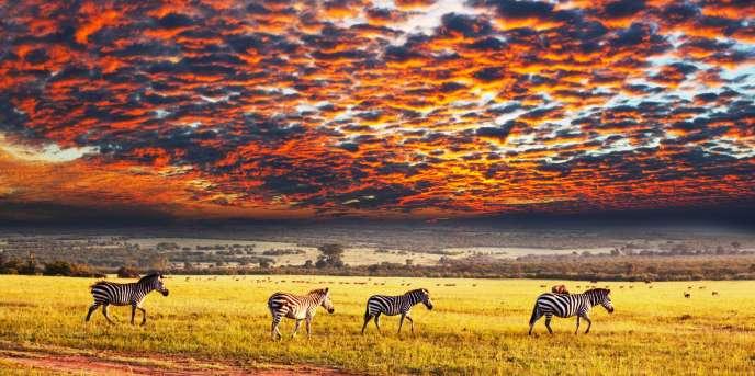 Des zèbres dans la savane namibienne.
