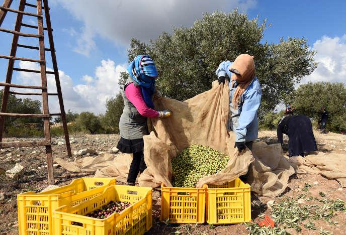 Récolte d'olives, à Mornag, près de Tunis, en 2015.