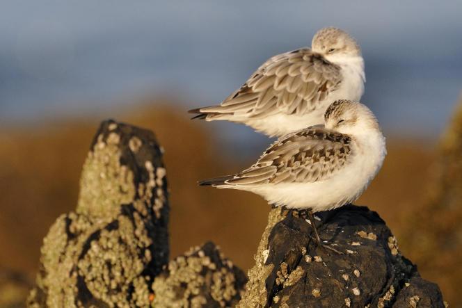 Des bécasseaux sanderling sur un rocher de la baie de Saint-Brieuc (Côtes-d'Armor).