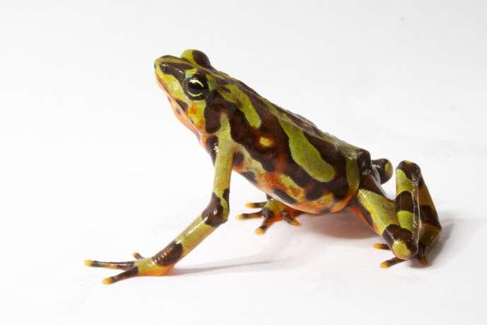 Atelopus varius ou grenouille arlequin variable. Comme son nom l'indique, sa livrée présente des couleurs et motifs variés d'un individu à l'autre.