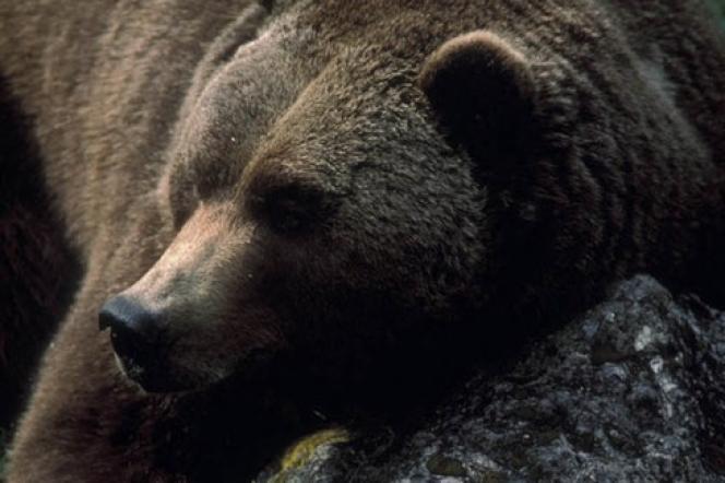 Un ours dans les Pyrénées espagnoles.