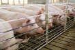 Un élevage de porcs dans l'Iowa, le 26 mars. Les nouvelles taxes portent sur des produits divers allant des fruits à la viande de porc.