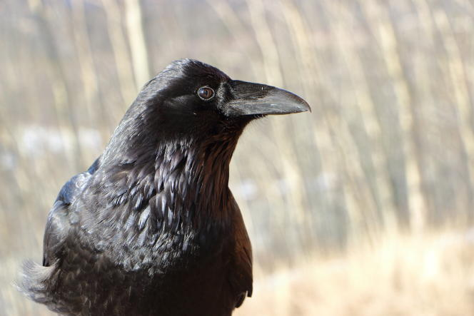 « Les corbeaux possèdent des neurones qui comptent spontanément.»