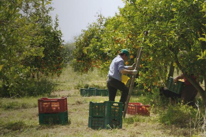 Production d'oranges en Italie. «Nul homme n'est une île », le nouveau documentaire de Dominique Marchais, sort le 4 avril.
