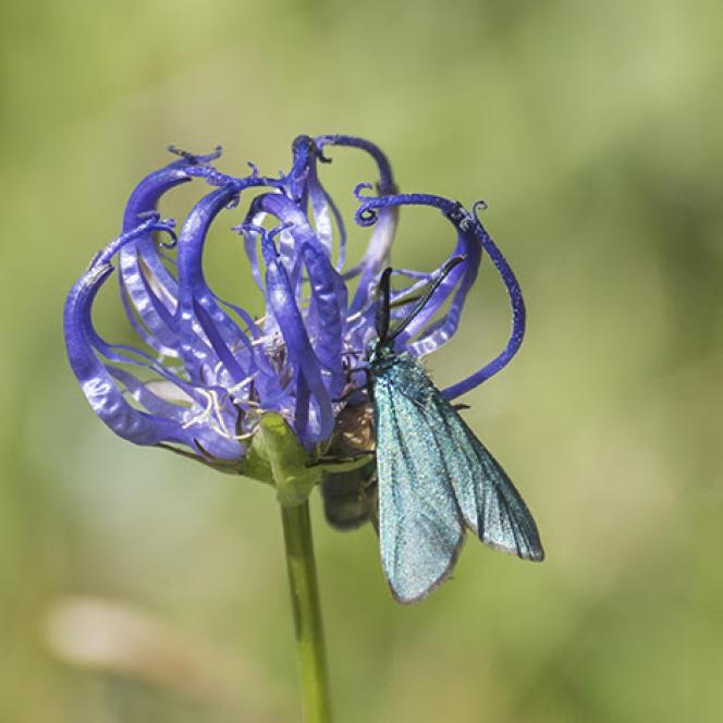 La raiponce hémisphérique (Phyteuma hemisphaericum), qui vit dans les prairies et les rocailles, est un exemple de plante ayant grimpé en altitude, ici dans les Alpes suisses.